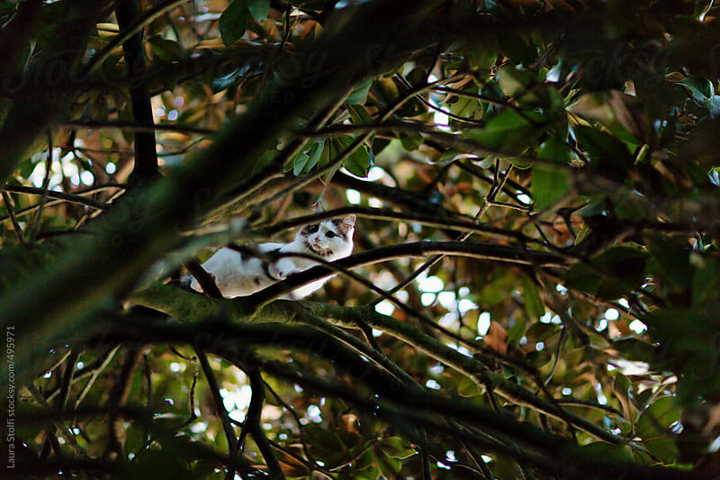 Siberian cat looking down from high tree branches by Laura Stolfi for Stocksy United
