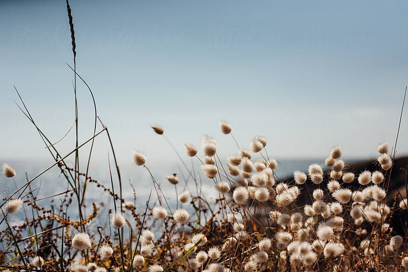 Wild flowers on the coast by Kara Riley for Stocksy United