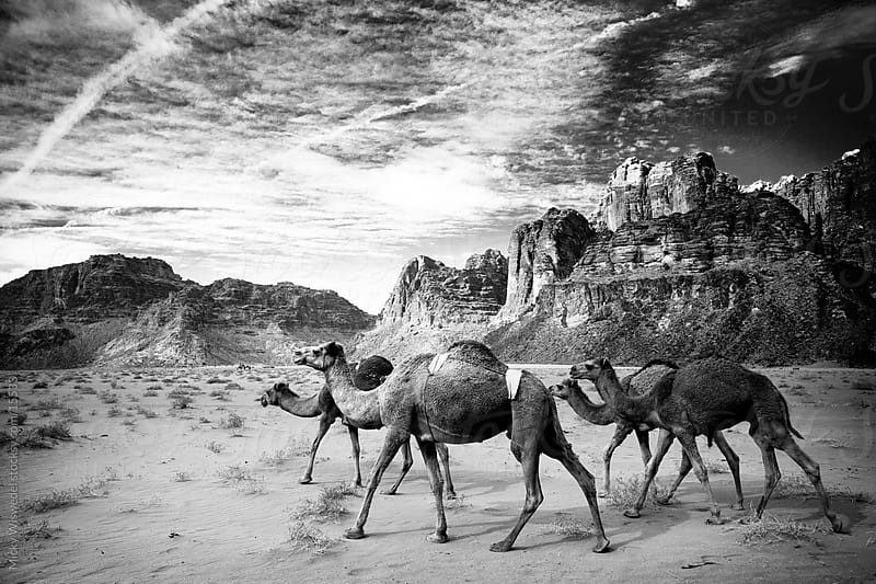 Desert Camels by Micky Wiswedel for Stocksy United