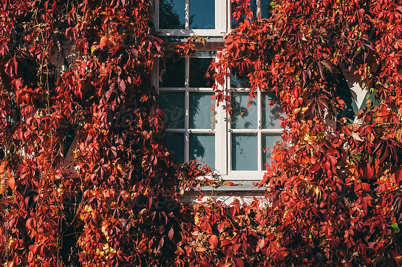 Window Framed by Virginia Creeper by Claudia Lommel for Stocksy United