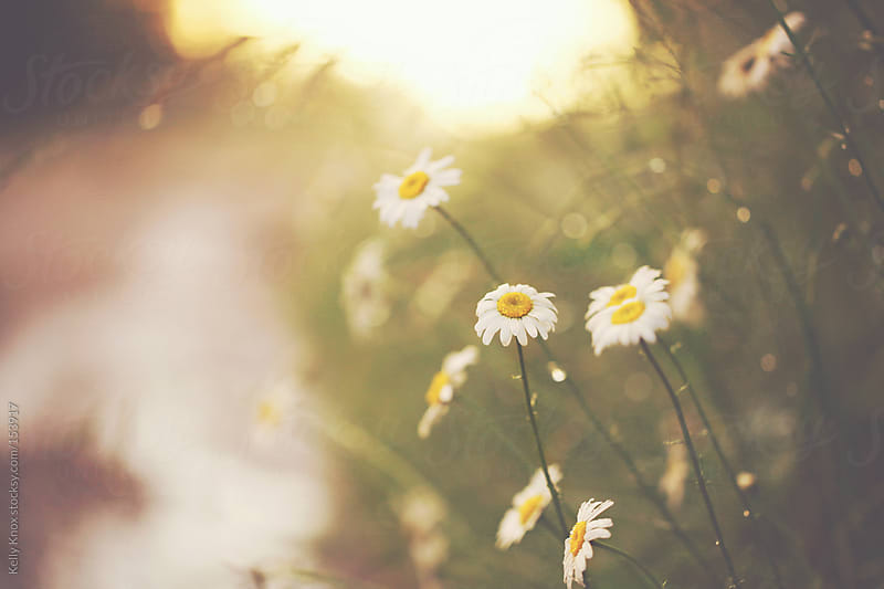 raindrops on daisies at sunset by Kelly Knox for Stocksy United