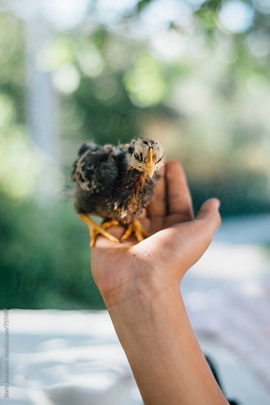 Boy holding small chicken in his hand by Boris Jovanovic for Stocksy United