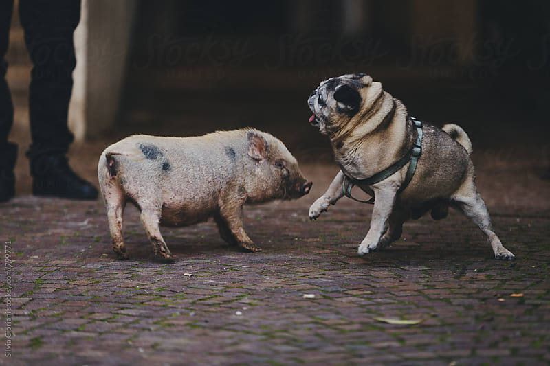 Pug playing with a pig in a yard by Silvia Cipriani for Stocksy United