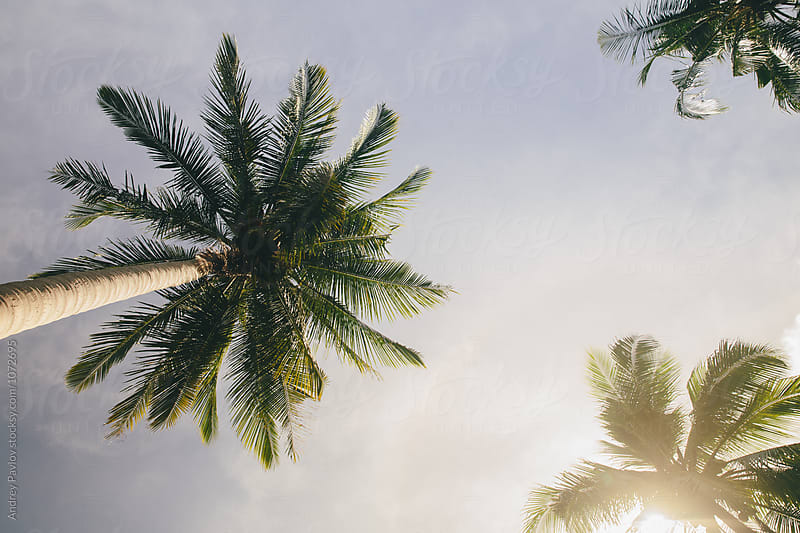 Palms below a blue sky by Andrey Pavlov for Stocksy United