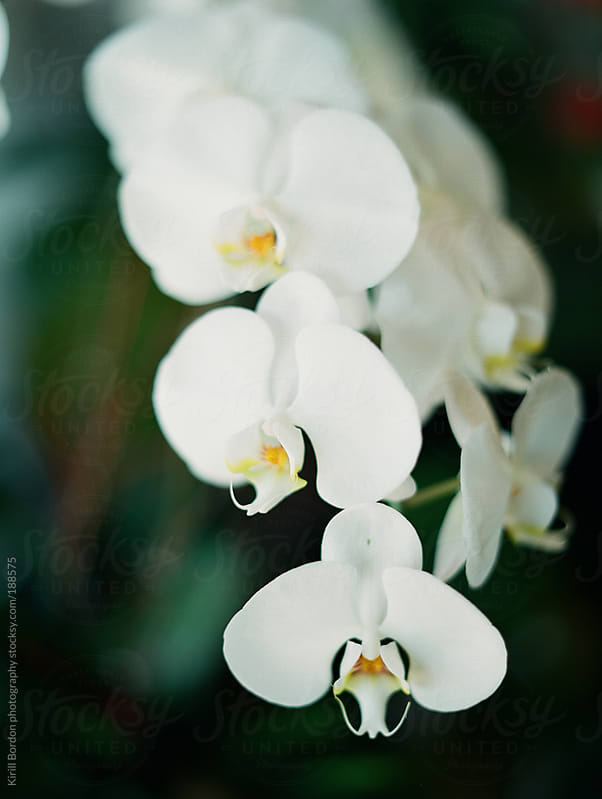 orchid by Kirill Bordon photography for Stocksy United