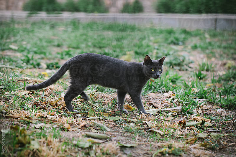 Dark Grey Cat Walking Alone in the Park by VICTOR TORRES for Stocksy United