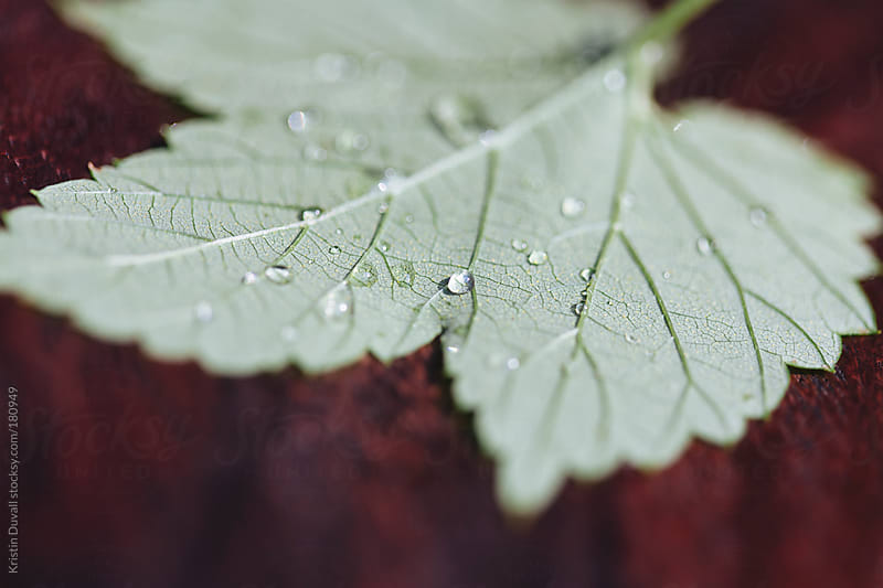 Water drops on hop leaf by Kristin Duvall for Stocksy United
