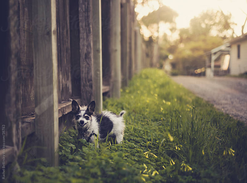 Small black and white terrier smiling in grassy alley near fence by Rachel Bellinsky for Stocksy United