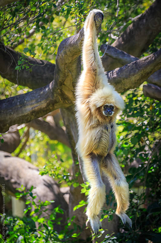 white cheeked gibbon by ALAN SHAPIRO for Stocksy United