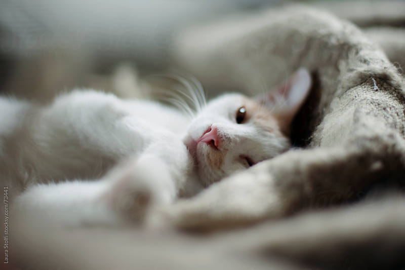 White cat lazing on brown woolen blanket looks at the camera with blissful eye by Laura Stolfi for Stocksy United