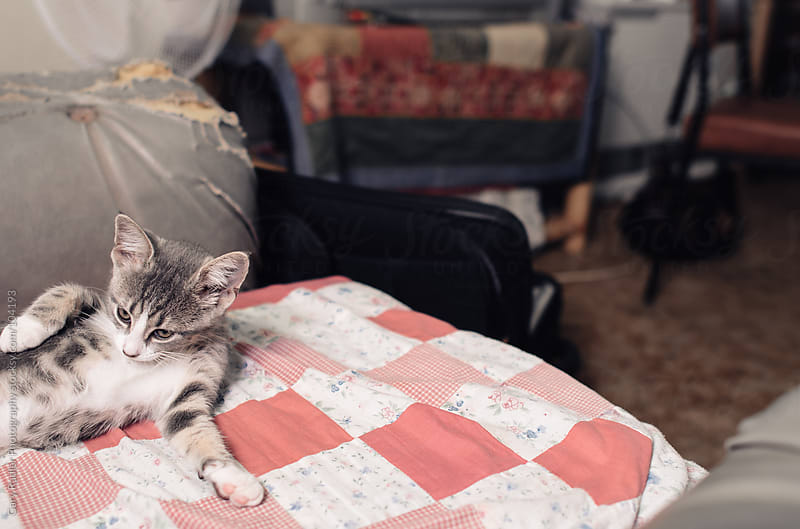 Cute Grey Kitten on a Quilt by Gary Radler Photography for Stocksy United