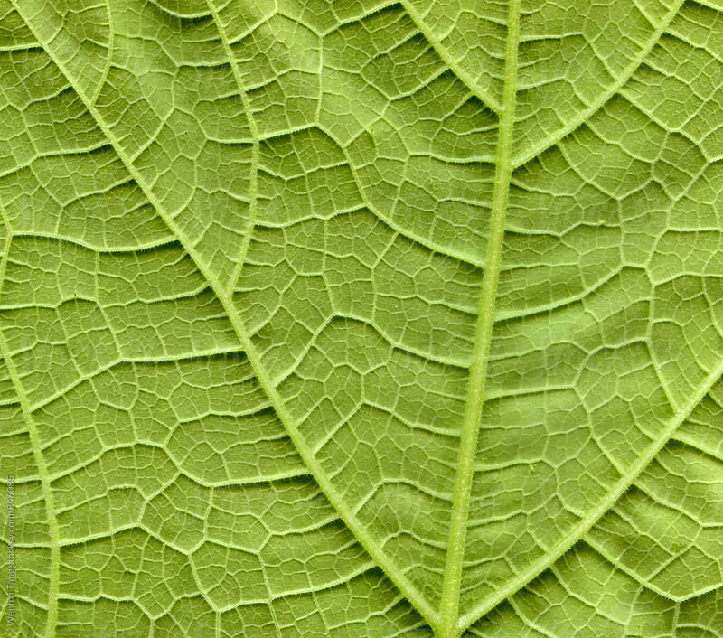 Pumpkin leafs surface at extreme close-up by Wenhai Tang for Stocksy United