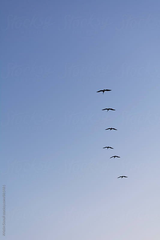 Pelicans flying in formation by Kristin Duvall for Stocksy United