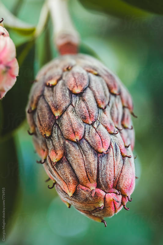 Magnolia Tree Cone, Autumn Season by Giorgio Magini for Stocksy United