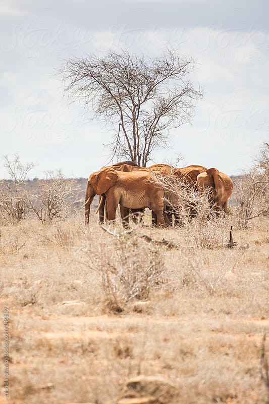 Elephants in the savannah by michela ravasio for Stocksy United