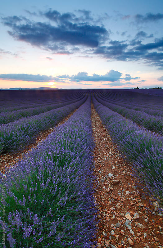 Lavender Way by Marilar Irastorza for Stocksy United