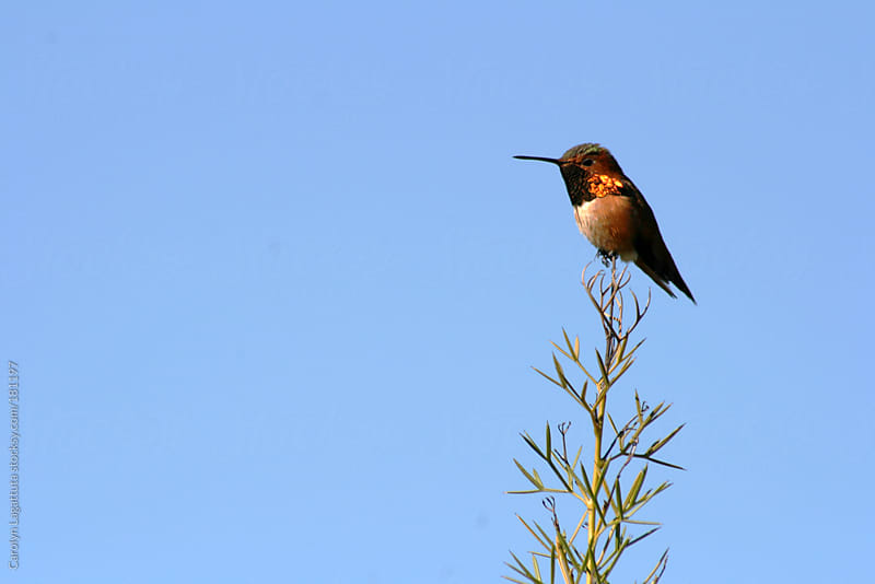 Allan's variety hummingbird resting on the very top of a small tree by Carolyn Lagattuta for Stocksy United