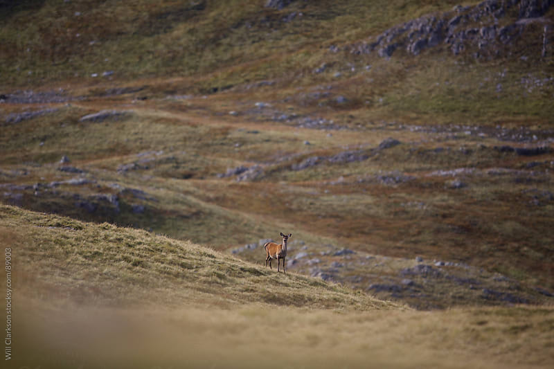 Red deer hind in the scottish highlands looks back at the camera by Will Clarkson for Stocksy United