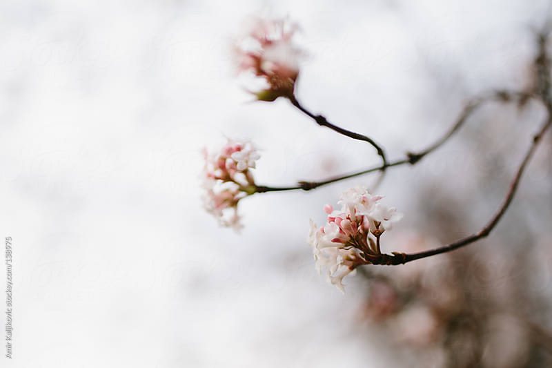 Pretty dainty white spring blossoms by Amir Kaljikovic for Stocksy United