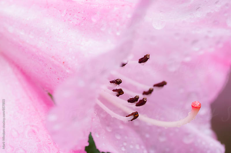 Rhododenron blossom and raindrops by Mark Windom for Stocksy United
