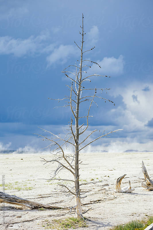 Dead tree in hot springs in Yellowstone National Park by michela ravasio for Stocksy United