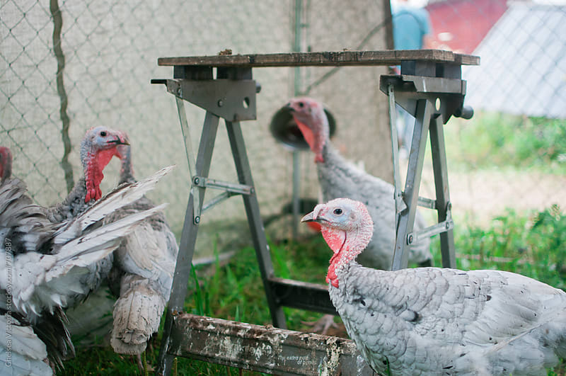 Turkeys in a cage on a farm by Chelsea Victoria for Stocksy United