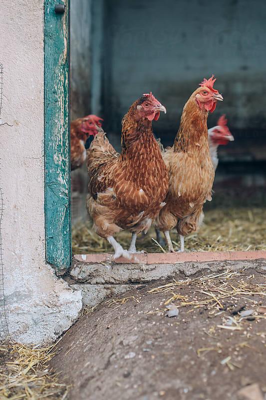 three chicks in a barn by Lydia Cazorla for Stocksy United