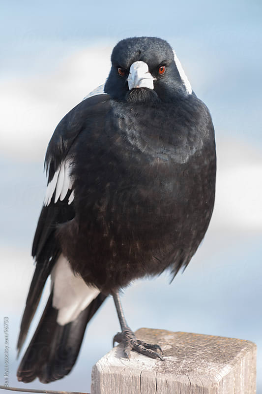 Australian magpie perched on a timber post by Ben Ryan for Stocksy United
