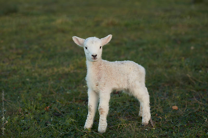 Newborn Lamb by Adrian Young for Stocksy United
