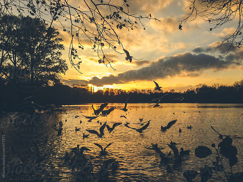 Wild Life on the Lake at Sunset by Mosuno for Stocksy United