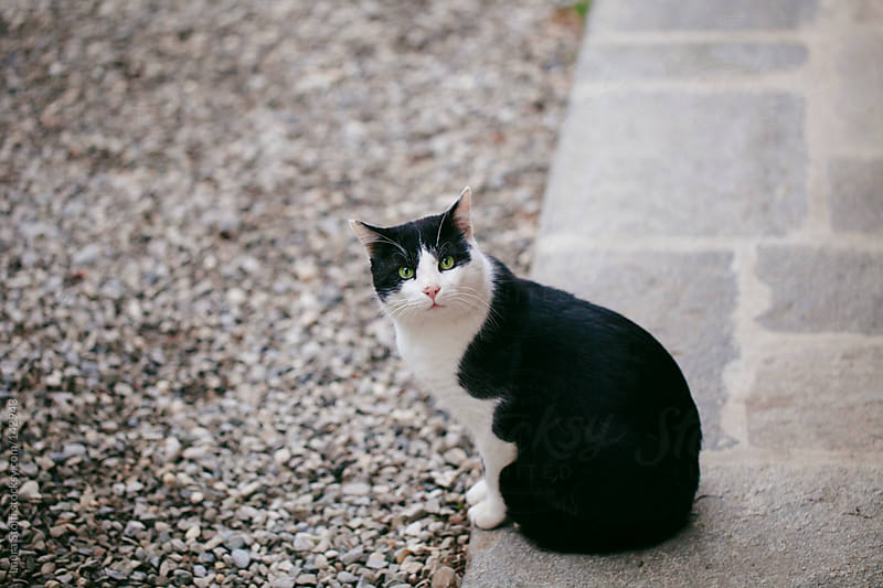 Cat looking straight at the camera with quizzical look by Laura Stolfi for Stocksy United