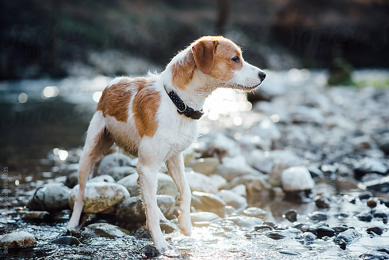 Dog curiously walking by the river bank by Boris Jovanovic for Stocksy United