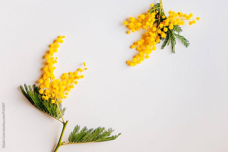 Mimosa by Giada Canu for Stocksy United