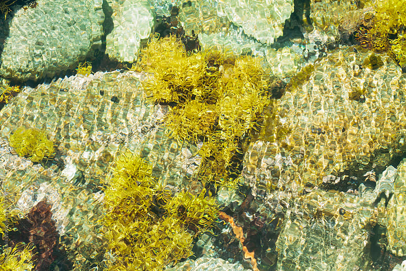 rockweed in tidepool on pacific coast by Jess Lewis for Stocksy United