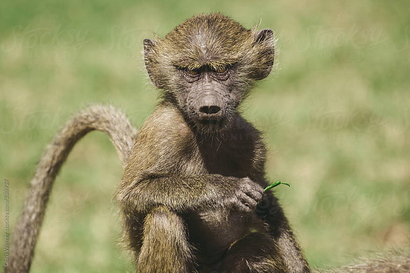 African baboon by Chris Werner for Stocksy United