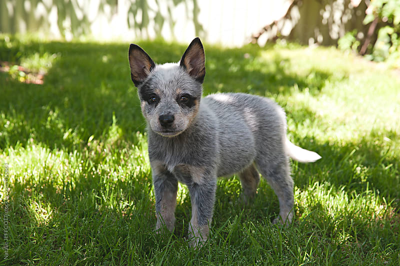 10 week old cute Australian blue heeler puppy dog by Natalie JEFFCOTT for Stocksy United