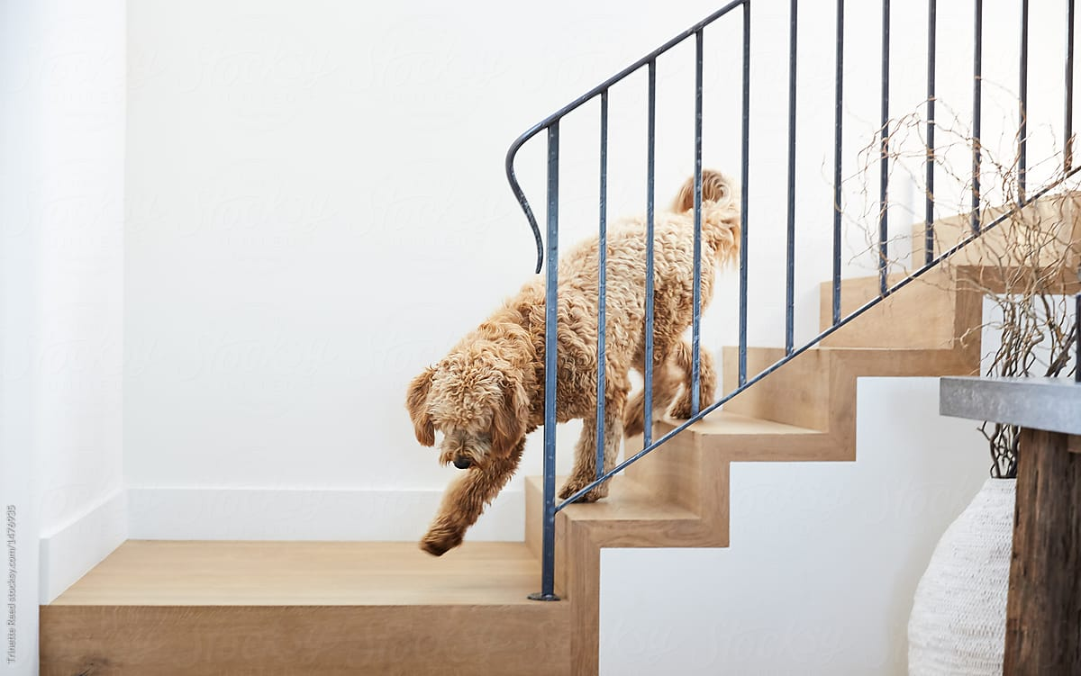Labradoodle Dog Coming Down Stairs In Modern Design Home By Trinette Reed  For Stocksy United