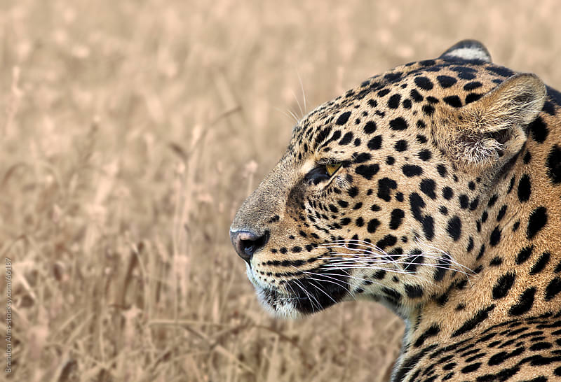 Leopard Profile Closeup by Brandon Alms for Stocksy United