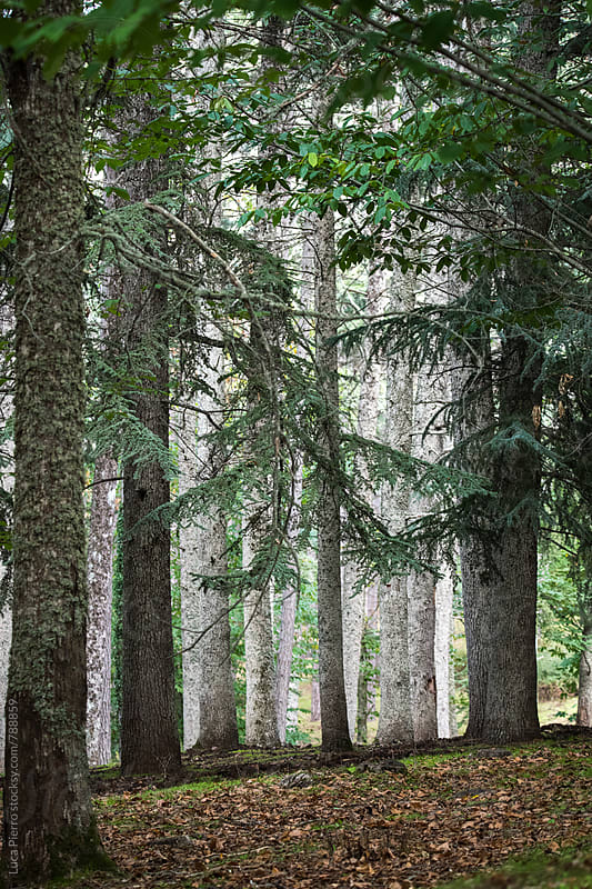 Beautiful forest of pine trees by Luca Pierro for Stocksy United