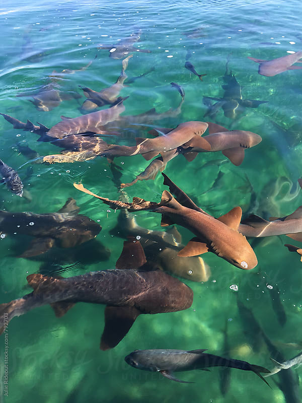 Nurse Sharks by Julie Rideout for Stocksy United