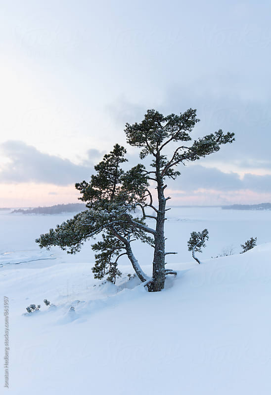 A lonely pine tree by Jonatan Hedberg for Stocksy United