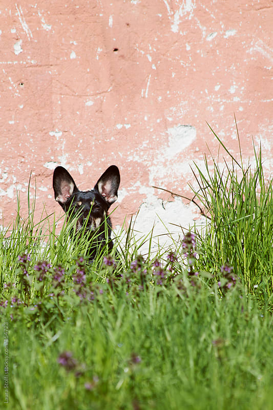 Black dog, purple flowers, pink wall by Laura Stolfi for Stocksy United