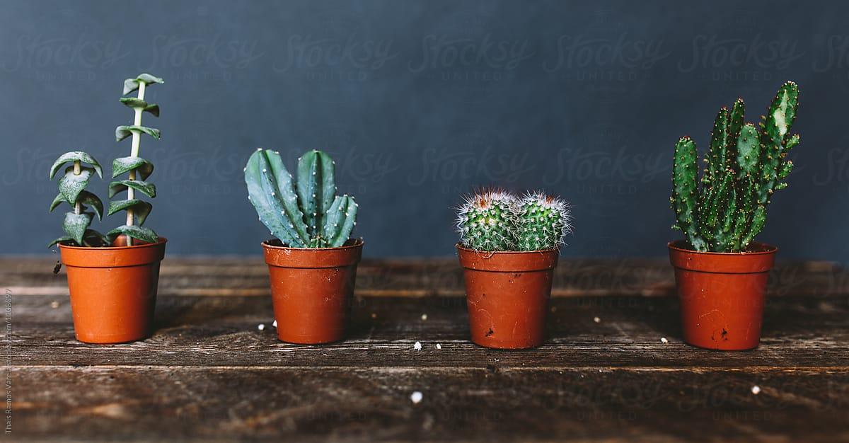 Four Tiny Cactus | Stocksy United Tiny Cactus on tiny bamboo, tiny moon, tiny trees, tiny earth, tiny plants, tiny blanket, tiny island, tiny succulents, tiny terrariums, tiny tomatoes,