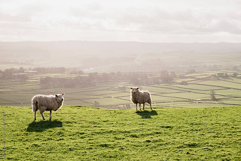 Sunlit sheep on a hilltop at sunset. Derbsyhire, UK. by Liam Grant for Stocksy United