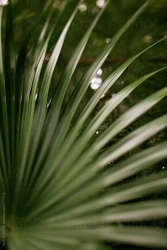Close Up Of A Shiny Green Palm Frond by ALICIA BOCK for Stocksy United