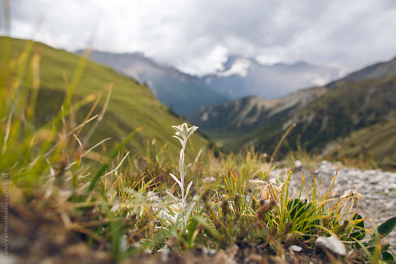 Rare edelweiss flower high up in the mountains by Denni Van Huis for Stocksy United