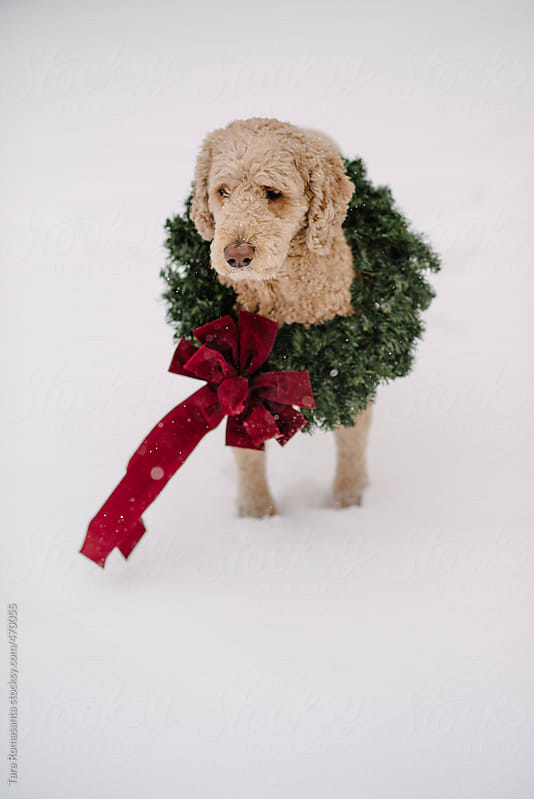 a labradoodle in the snow wears a Christmas wreath by Tara Romasanta for Stocksy United