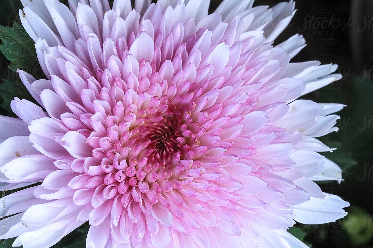 Freshness Pink Chrysanthemums Flowers Of Closefreshness Pink Chr