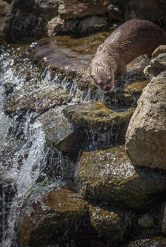 Otter exploring by alan shapiro for Stocksy United