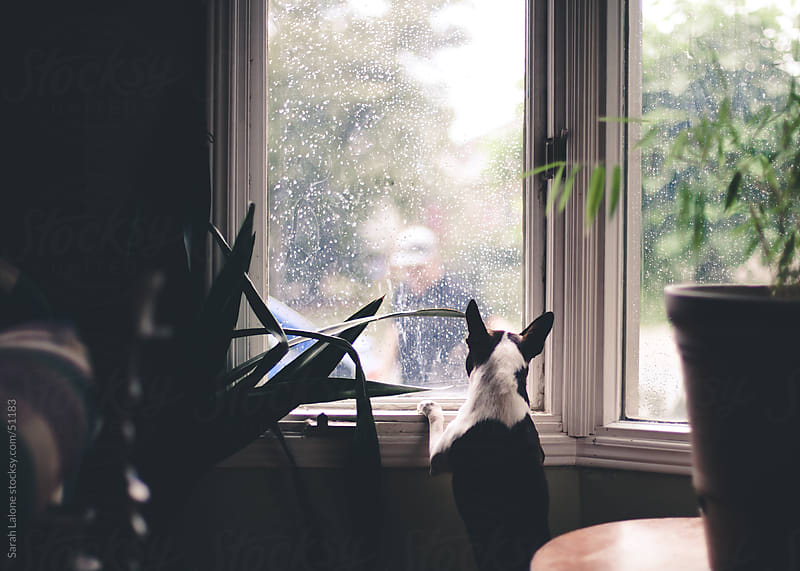 A dog looking out the window on a rainy day at a man. by Sarah Lalone for Stocksy United